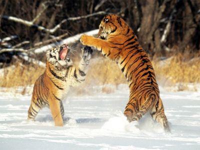Cat Fight  Siberian Tigers