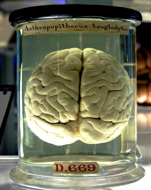 chimp_brain_in_a_jar