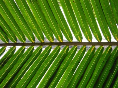 800px-palm_frond
