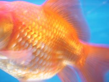 g fish