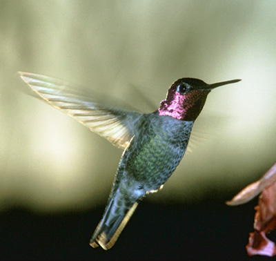 gtotem hummingbird