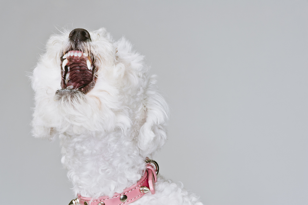 lifestyle-editorial-washington-dc-malek-naz-photography-white-poodle.jpg