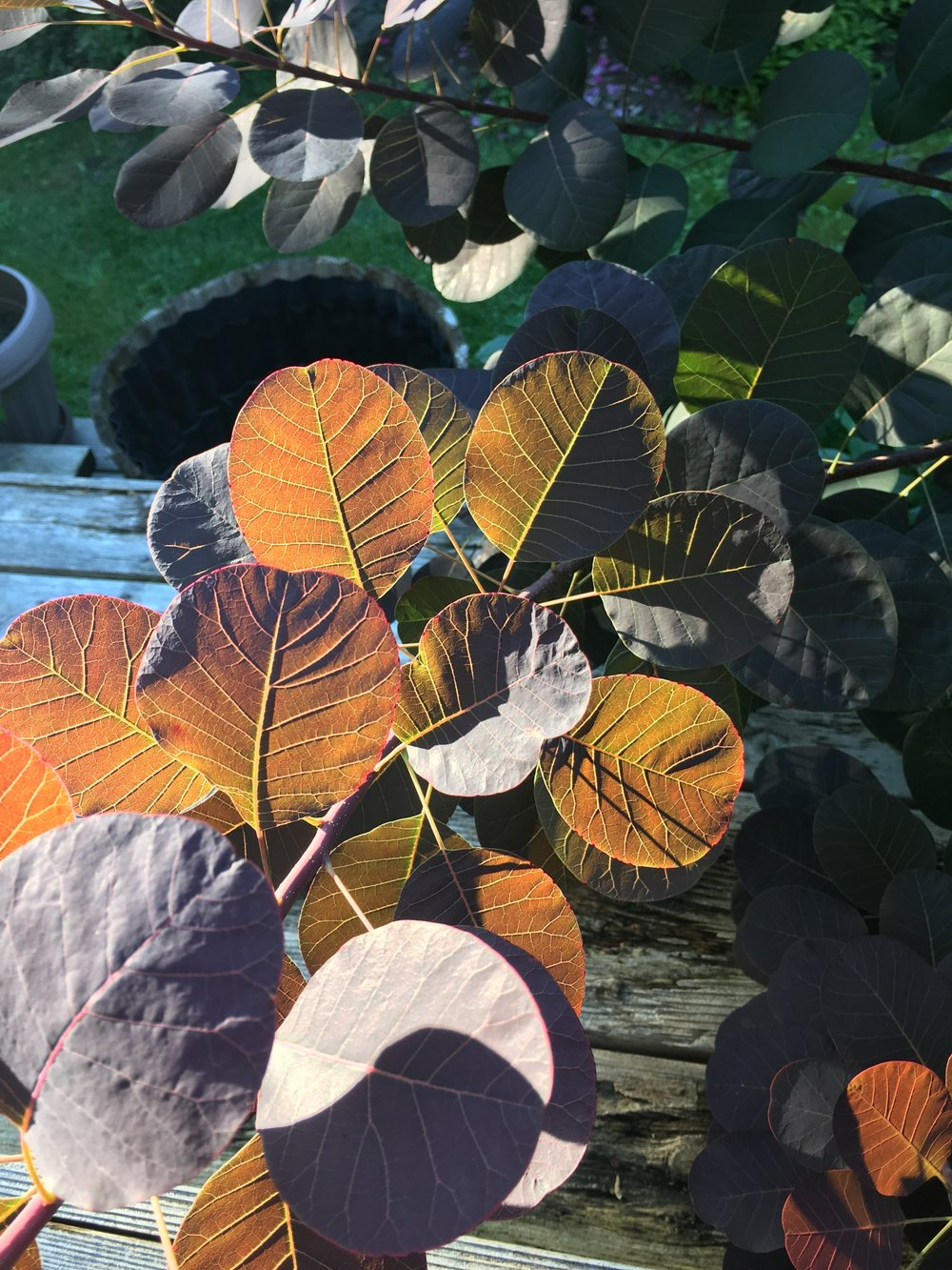 The smoke bush in our back yard light by the fading light of a summers eve.