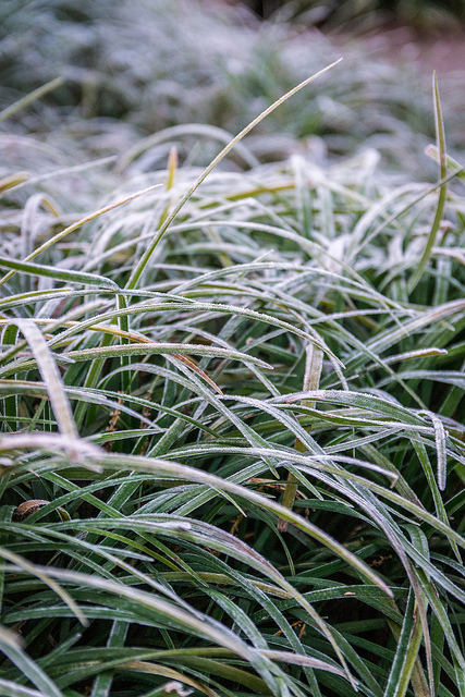 Frost on Grass II