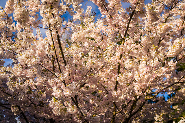 That's a lot of pink blossoms and light.