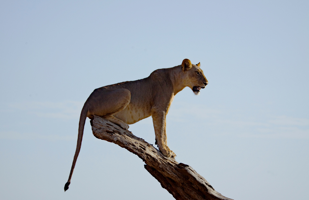 Female Lion, Samburu National Park