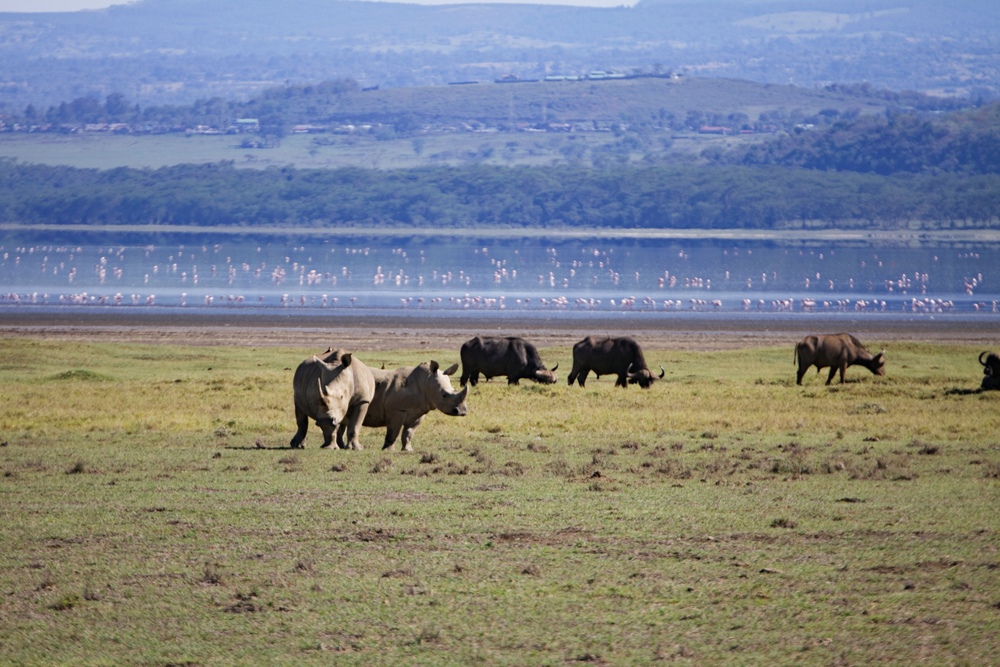 Rhinoceri, Buffalo and Flamingos, Lake Nakuru