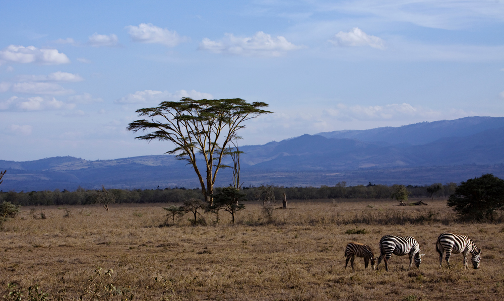 Zebras, Acacia Tree, Samburu National Park