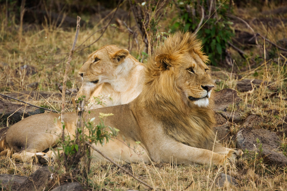 Male and Female Lions, Masai Mara