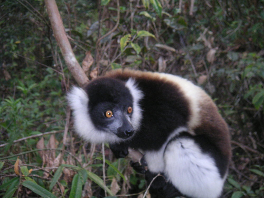 Lemur, Perinet, Madagascar