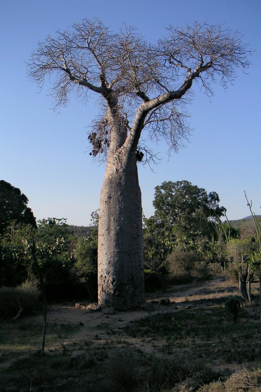 Boabob Tree,