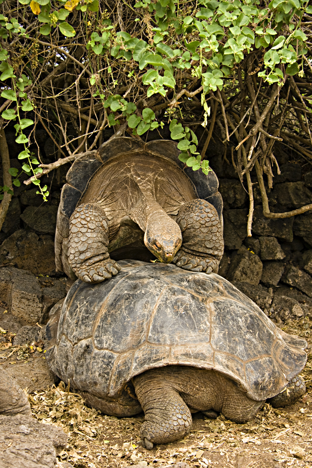 Tortoises fornicating from the wrong end