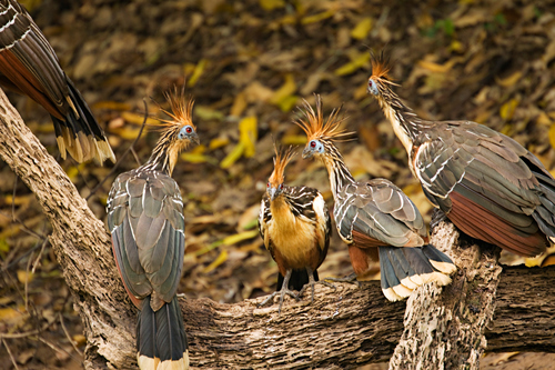 Hoatzins, or Stinkbirds