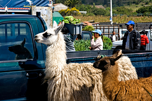 Otavalo Market, Llamas