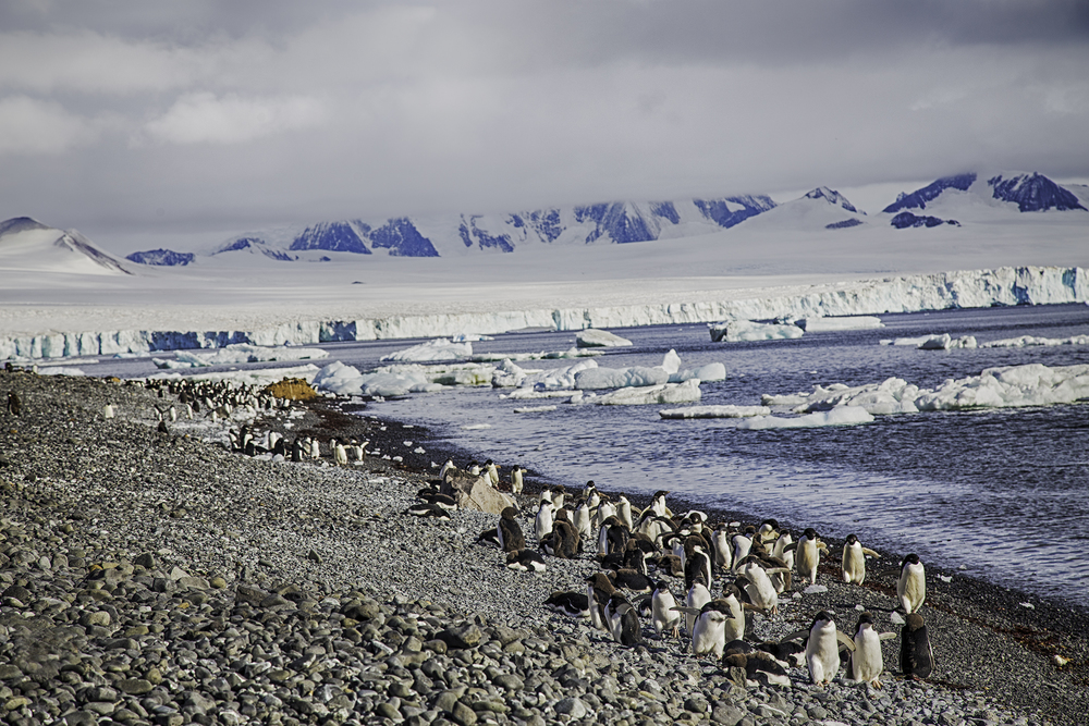 Gentoo Penguins on Brown Bluff