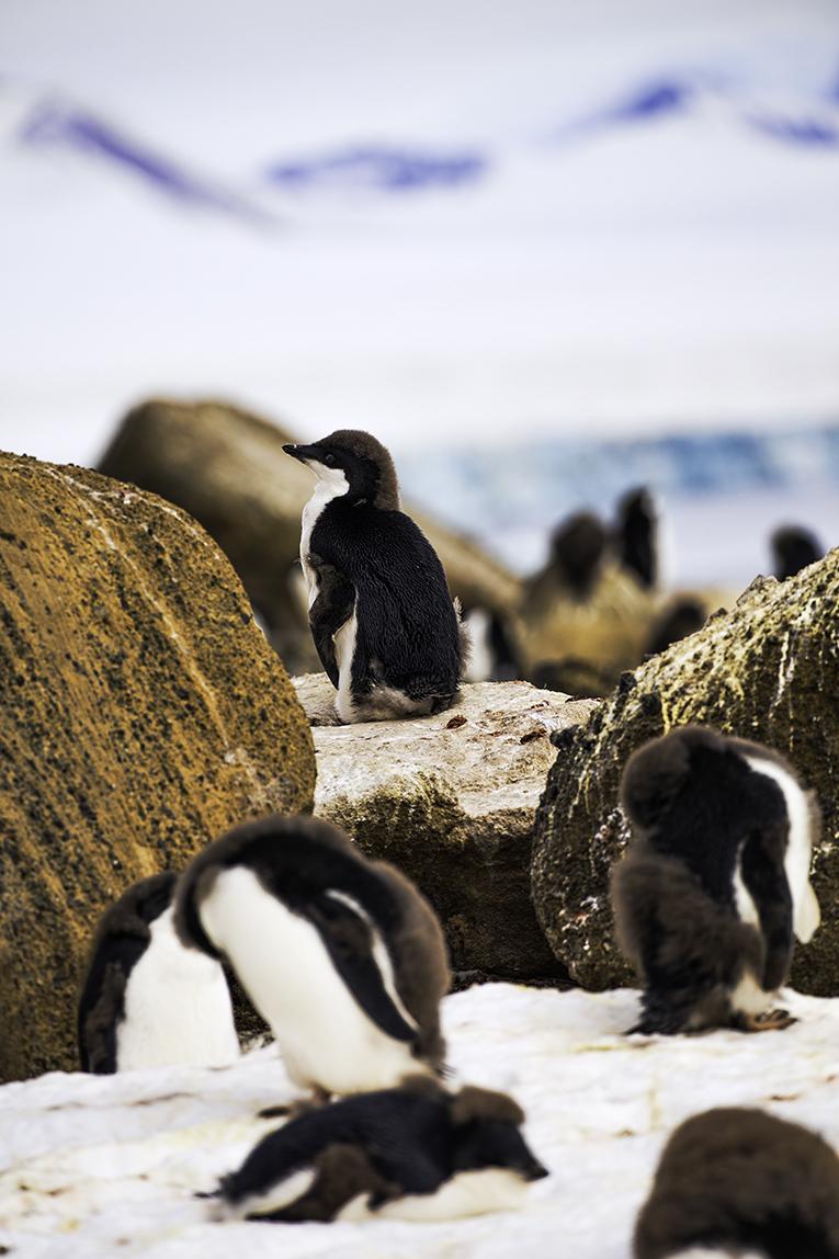 Adelie Penguins on Brown Bluff