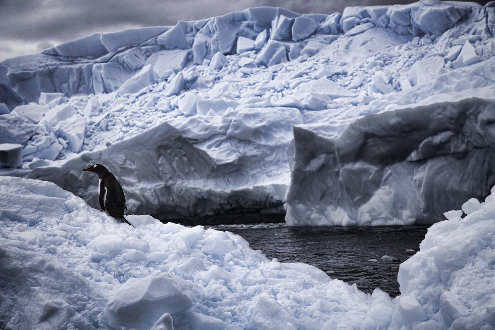 Gentoo Penguin in Cierva Cove