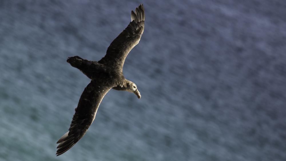 Falkland Diving Petrel