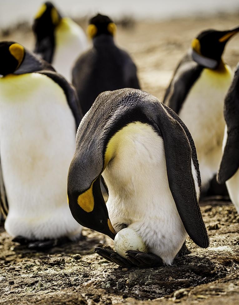King Penguin with Egg. jpg