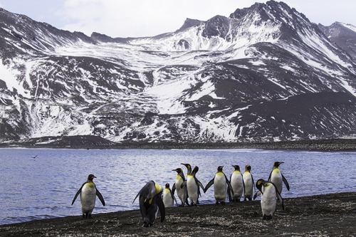 king-penguins-St.-Andrews-Bay-South-Georgia-Island-4.jpg