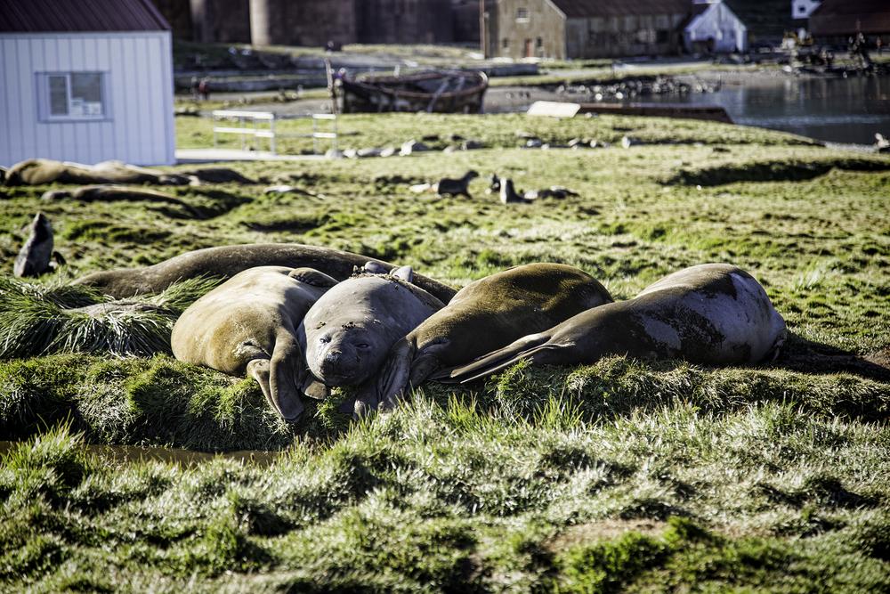 elephant-seals-grytviken.jpeg