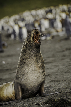 Wlephant-seal-bull-Gold-Harbour.jpg