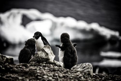 adelie-penguins-brown-bluff.jpg