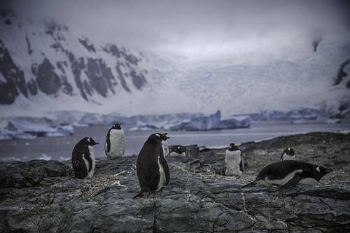gentoo-penguins-danco-island.jpg