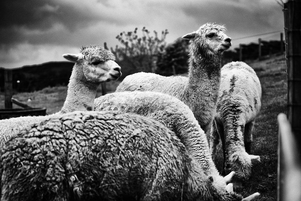 Raglan, Alpacas on an Eel Farm