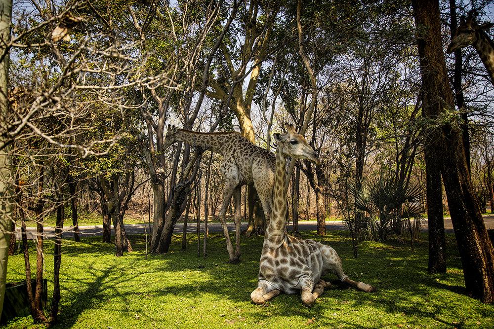 South African Giraffes, Mosi-au-Tunya National Park