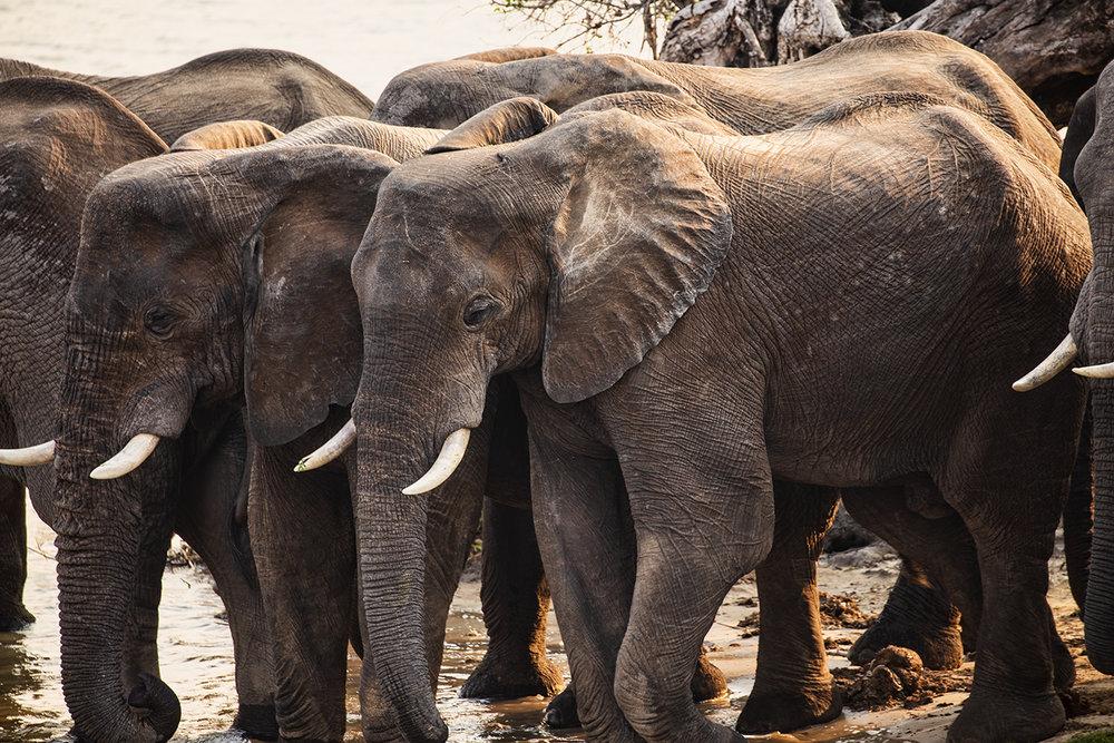 Elephants, Zambezi River