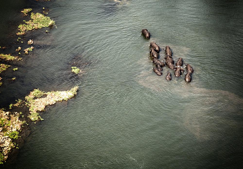 Elephants in Zambezi River, Aerial View