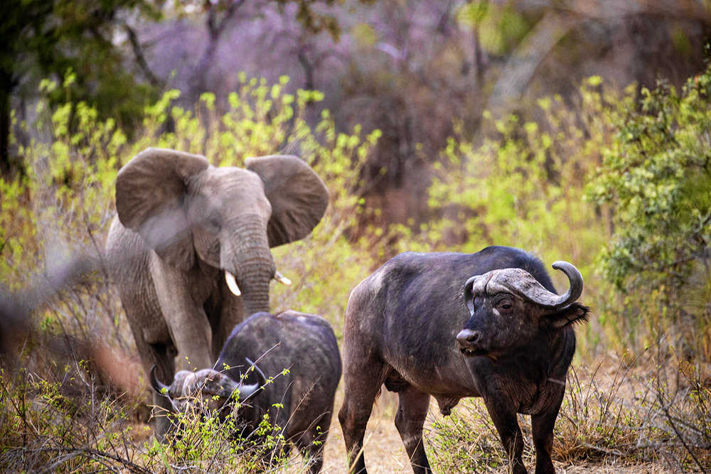 Elephant and Cape Buffalo