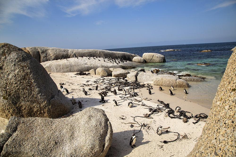 South African Penguins, Bolder's Bay
