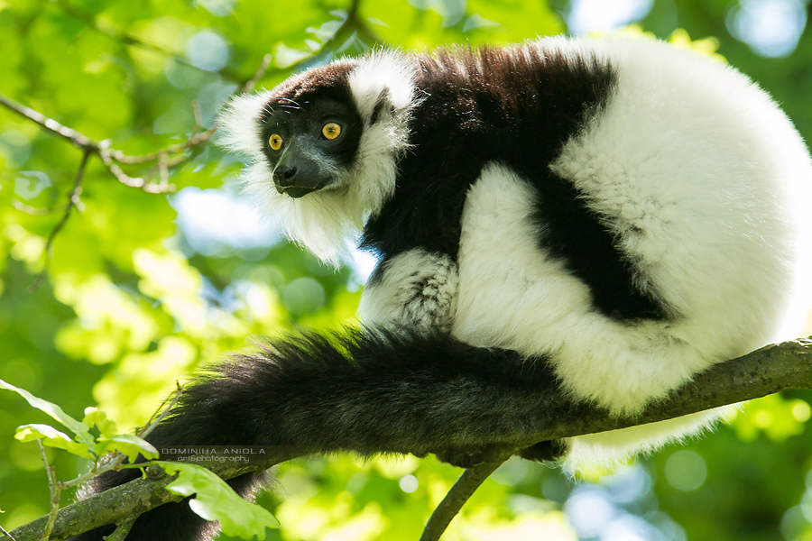 Black and white Ruffed Lemur Wrocław ZOO, Poland@2014