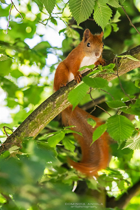 Red Squirrel Poznan, Poland@2015