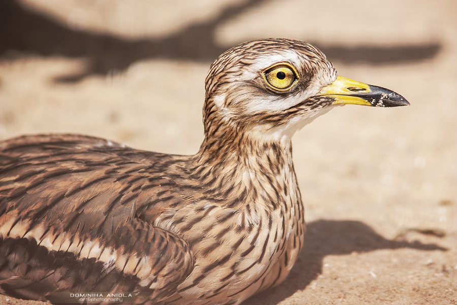 Stone Curlew Warsaw ZOO, Poland@2009
