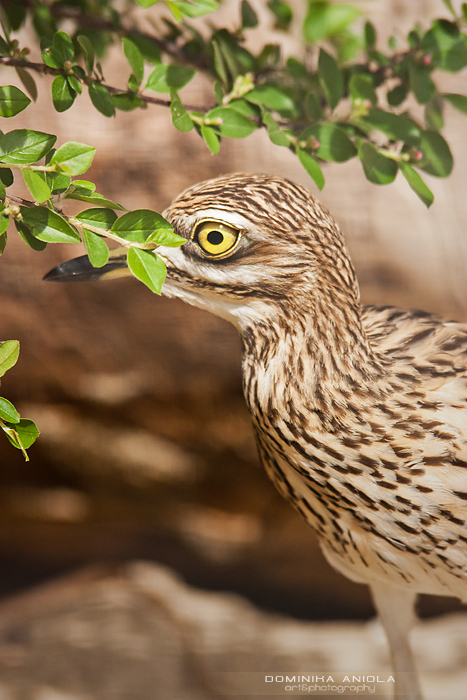 Stone Curlew Warsaw ZOO, Poland@2012