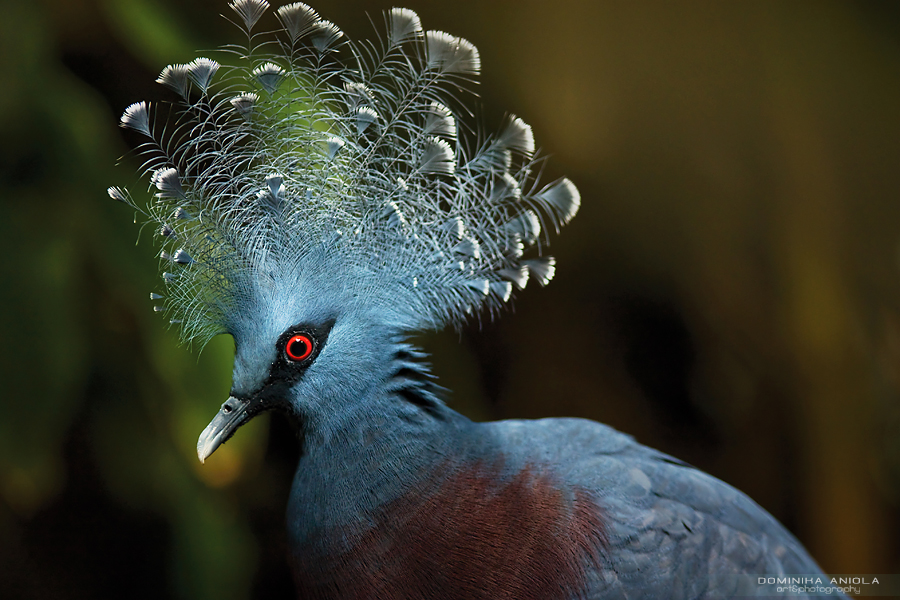 Victoria Crowned Pigeon Warsaw ZOO, Poland@2009
