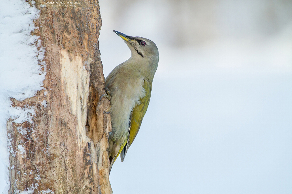 Grey-Headed Woodpecker, female