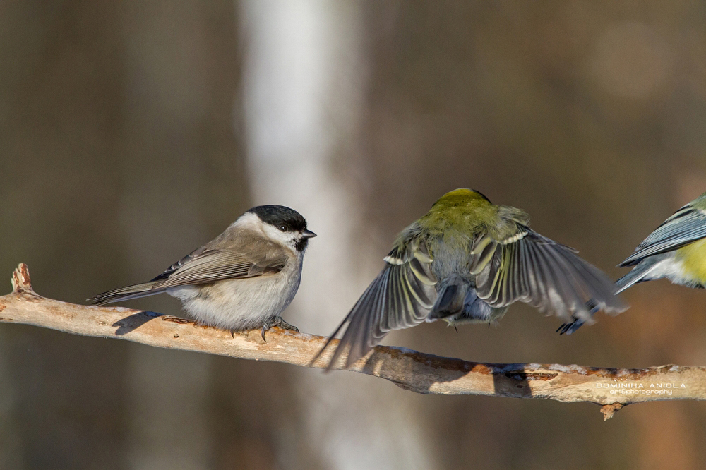 Marsh Tit and Great Tits