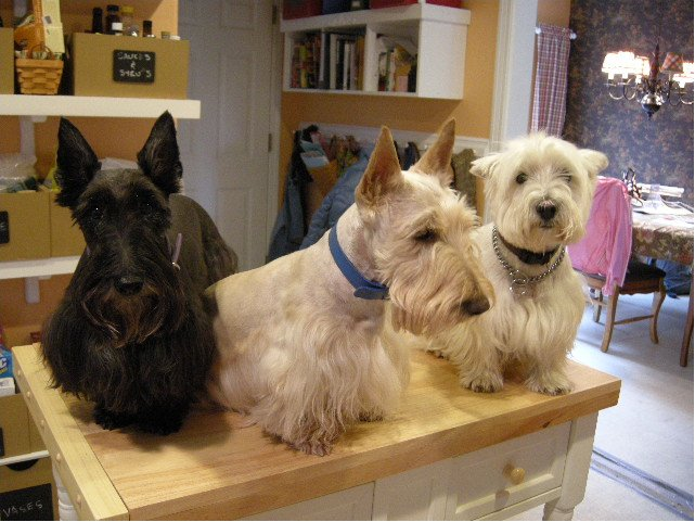 from left: Paisley, Bailey and Barclay on the kitchen island.