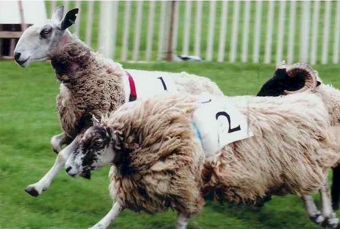 Yes, my friends, some people actually do race their sheep...