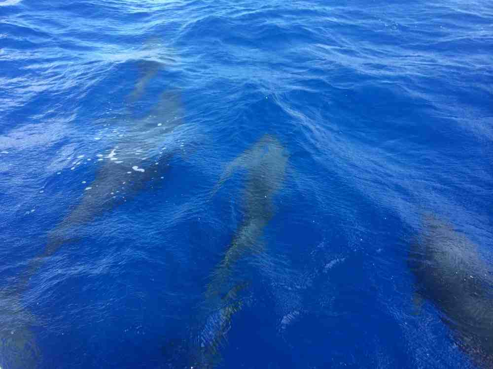 Four of the seven dolphins