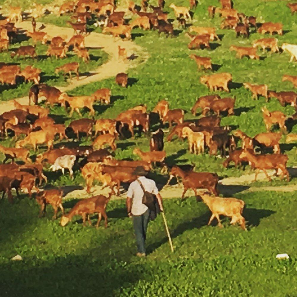 Spain Sheep.jpg