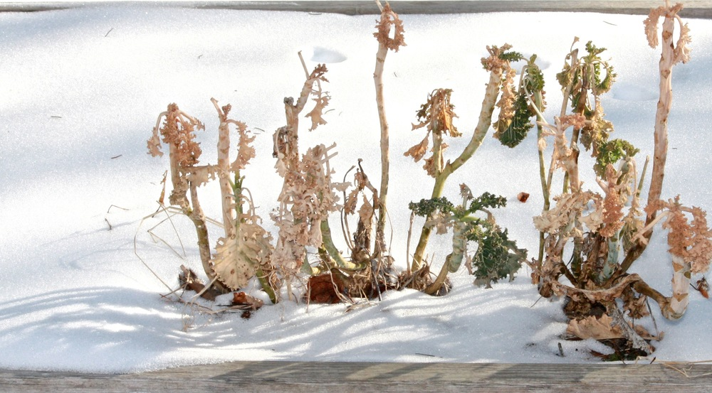 kale in snow.jpg
