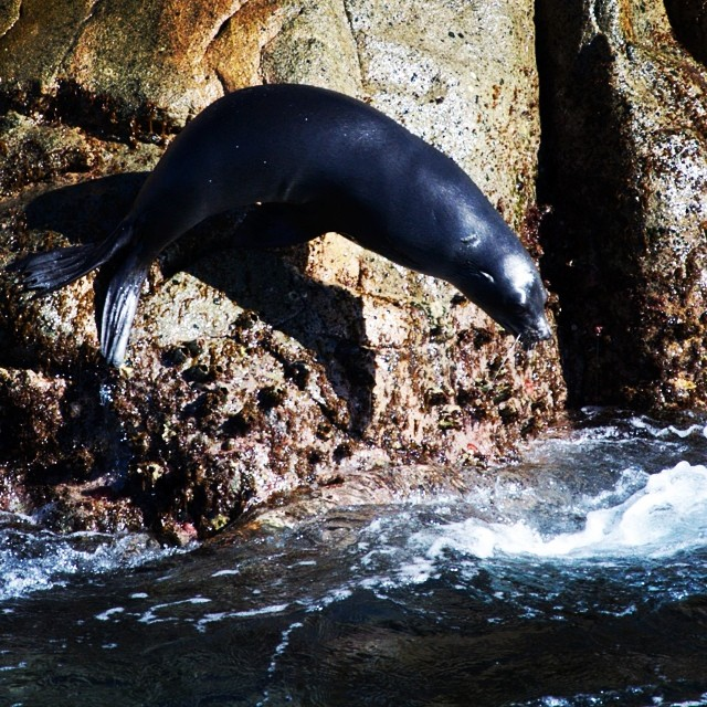 A seal slips in to King George Sound - Albany, WA @australia
