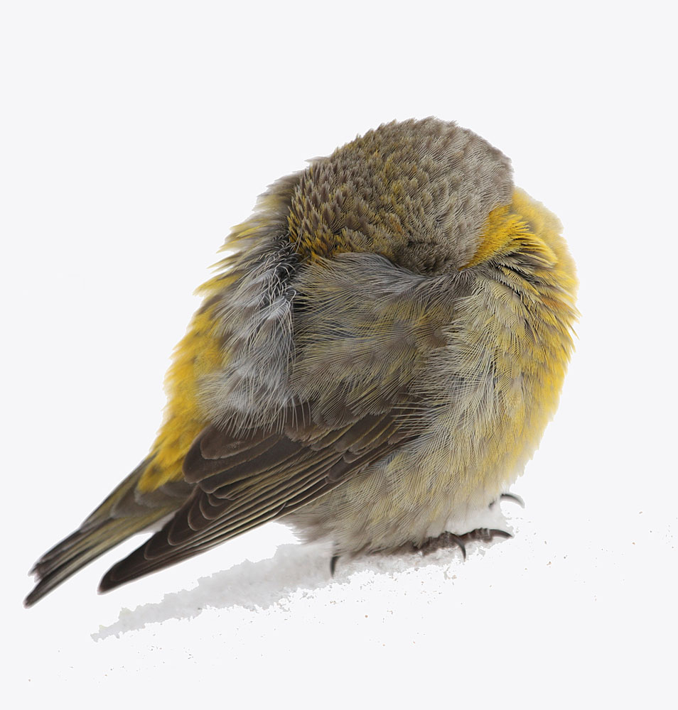 Red Crossbill female asleep in the snow in Colorado