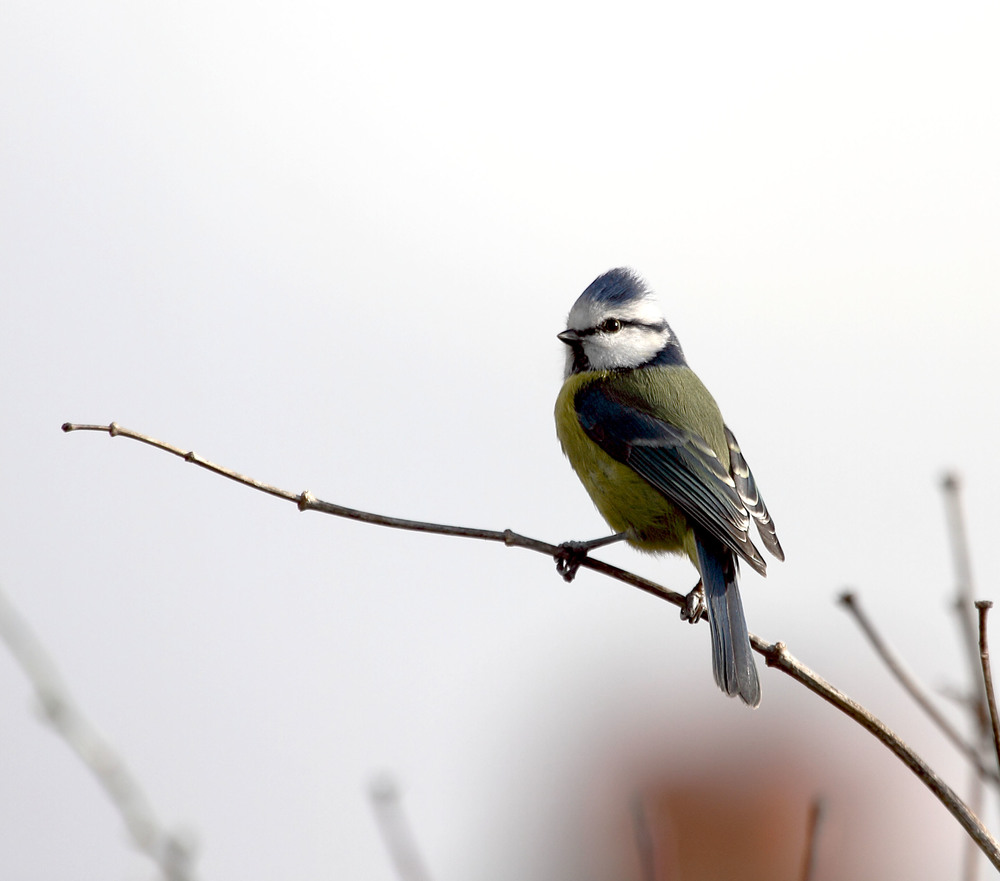 The blue tits are active again in the garden now that Spring is here.