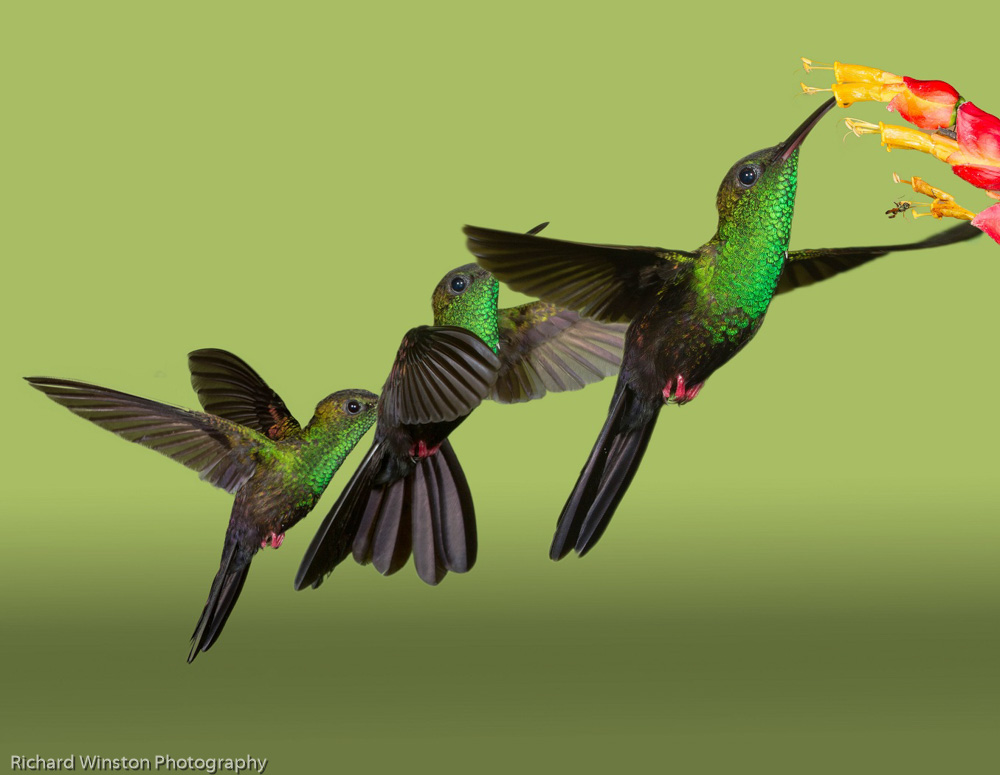 Bronze-tailed Plumeleteer Hummingbird Flight Pattern
